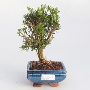 Izbová bonsai - Buxus harlandii