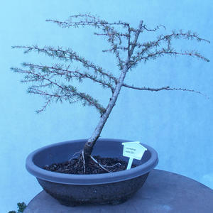 Yamadori - Modřín opadavý - Larix decidua