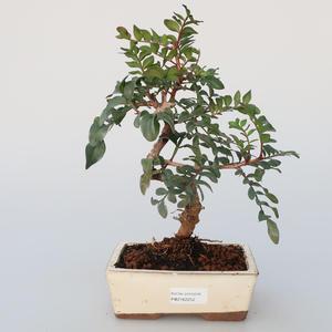 Pokojová bonsai -  Pistácie