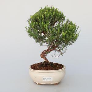 Pokojová bonsai - Coleonema - Koleonema