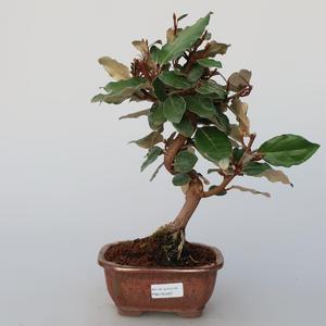 Pokojová bonsai -Eleagnus - Hlošina