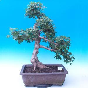 Vonkajší bonsai -Javor poľný - Acer campestre