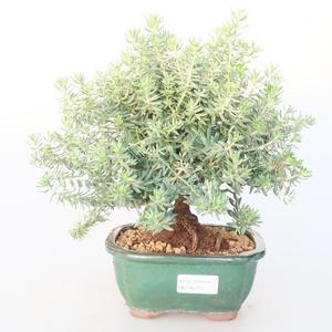 Pokojová bonsai -Westrigea sp. - Westringie