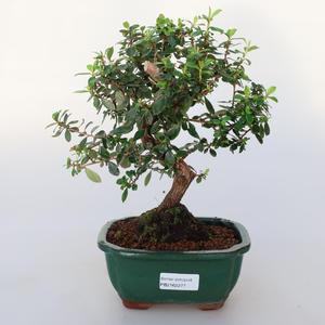 Pokojová bonsai -Wscallonia sp. - Zábluda