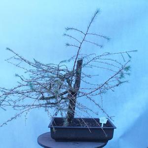 Yamadori - Smrekovec opadavý - Larix decidua