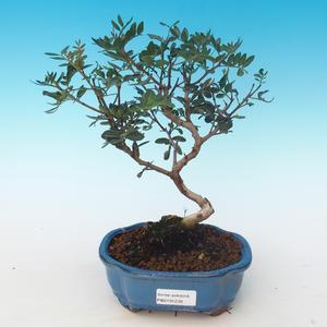 Pokojová bonsai-Pistácie PB2191230