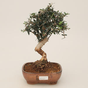 Izbová bonsai - Olea europaea sylvestris -Oliva európska drobnolistá