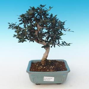 Pokojová bonsai - Olea europaea sylvestris -Oliva evropská drobnolistá PB2191237