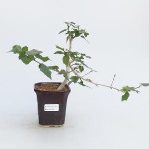 Pokojová bonsai - malokvětý ibišek PB216414