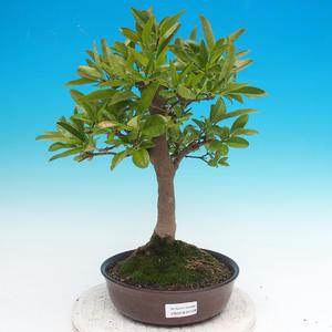 Venkovní bonsai - ptačí zob Ligustrum
