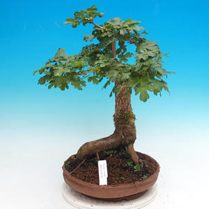 Venkovní bonsai -Javor babyka - Acer campestre