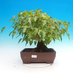 Vonkajšie bonsai - Acer ginala - Javor ohnivý