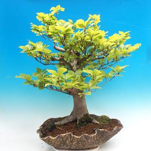 Vonkajšia bonsai-Fagus sylvatica