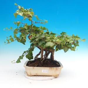 Venkovní bonsai- Hedera - Břečťan