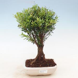 Venkovní bonsai -Habr obecný VB13611
