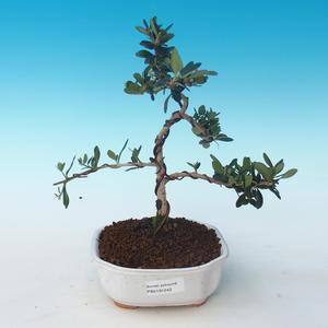 Pokojová bonsai - Olea europaea sylvestris -Oliva evropská drobnolistá PB2191242