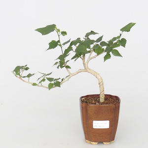 Pokojová bonsai - malokvětý ibišek