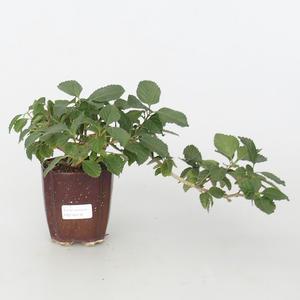 Pokojová bonsai-Lantana camara-Libora proměnlivá