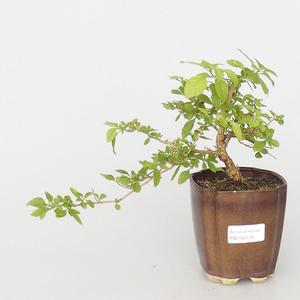 Pokojová bonsai - Hořcový stromek-Solanum rantonnetii