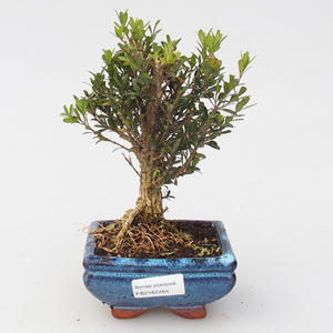Pokojová bonsai - Buxus harlandii - korkový buxus