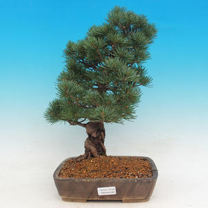 Venkovní bonsai - Pinus parviflora Glauca - Borovice