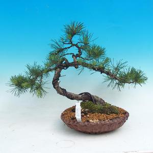 Venkovní bonsai - Pinus sylvestris - Borovice lesní