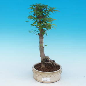 Vonkajšie bonsai - Javor Buergerianum - Javor Burgerův