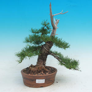 Venkovní bonsai -Larix decidua - Modřín opadavý