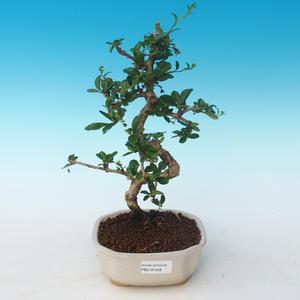 Pokojová bonsai - Carmona macrophylla - Čaj fuki 405-PB2191248