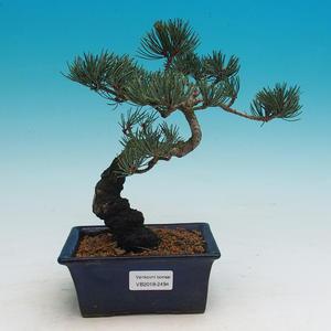 Venkovní bonsai - Pinus parviflora - Borovice drobnokvětá