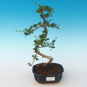 Pokojová bonsai - Carmona macrophylla - Čaj fuki 405-PB2191250