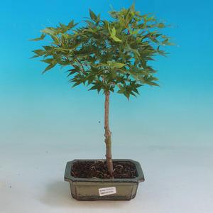 Venkovní bonsai-Acer palmatum Aureum - Javor dlanitolistý zlatý