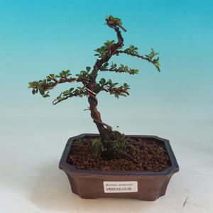 Venkovní bonsai- Cotoneaster-Skalník