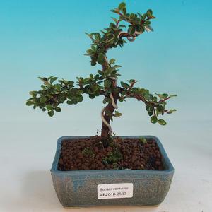 Venkovní bonsai-Cotoneaster-Skalník
