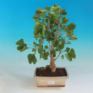 Venkovní bonsai-Ginkgo Biloba