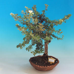 Venkovní bonsai-Mochna křovitá - Dasiphora fruticosa bílá