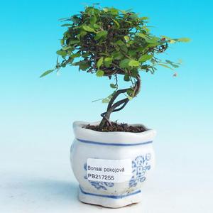 Izbová bonsai -Malolistý brest - P217255