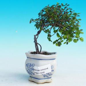 Izbová bonsai -Malolistý brest - P217256