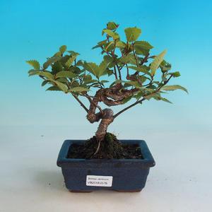 Venkovní bonsai-Ulmus Glabra-Jílm tuhý