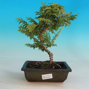 Venkovní bonsai-Ulmus Elegantissima Jack. Hillier-Jílm elegantí