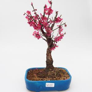 Vonkajší bonsai -Japonská marhuľa - Prunus mume