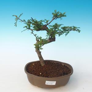 Pokojová bonsai - Zantoxylum piperitum - Pepřovník PB2191262