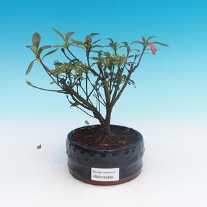 Venkovní bonsai - Rhododendron sp. - Azalka růžová