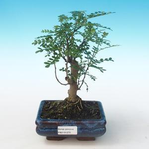Pokojová bonsai - Zantoxylum piperitum - Pepřovník PB2191270