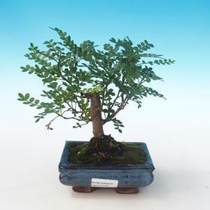 Pokojová bonsai - Zantoxylum piperitum - Pepřovník PB2191272