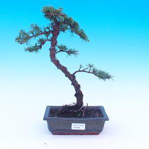 Venkovní bonsai - Cedrus Libani Brevifolia - Cedr zelený