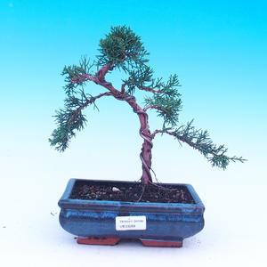 Venkovní bonsai - Javor dlanitolistý - Acer palmatum DESHOJO