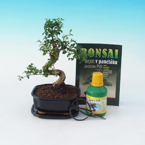 Pokojová bonsai sada, Ligustrum chinensiss - Ptačí zob