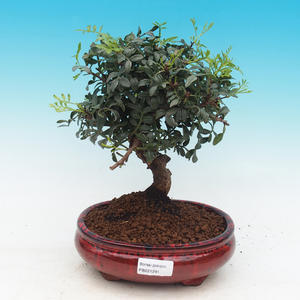 Pokojová bonsai-Pistácie