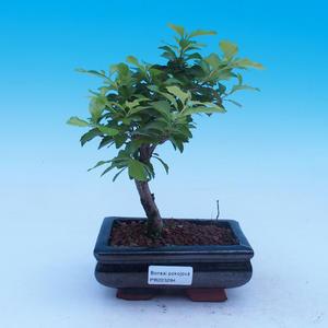 Izbová bonsai - Durant erecta Aurea